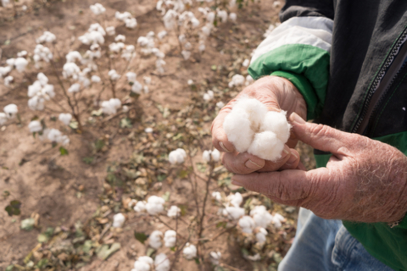 Image cotton boll dreamstime xs 104101246