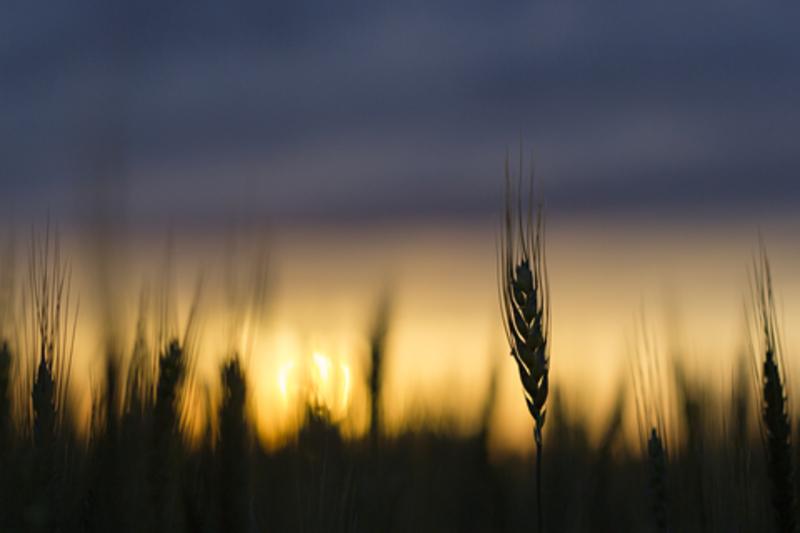 Image wheat dreamstime xs 84237811