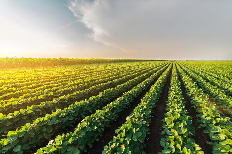 Image soybean field