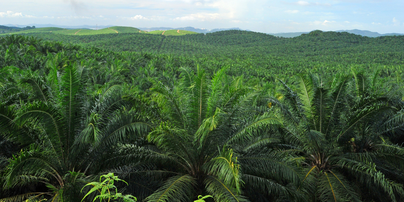 Image palm oil plantation dreamstime s 124914370