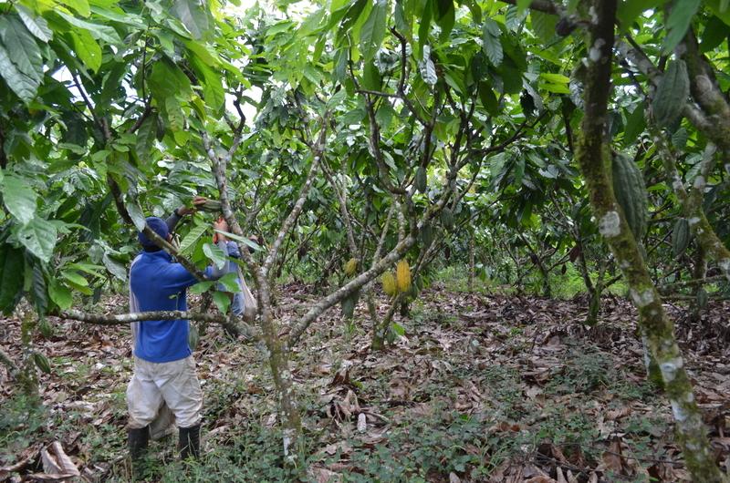 Image cocoa farmer mid res dreamstime s 69385222
