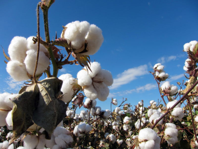 Image cotton dreamstime xs 16948412