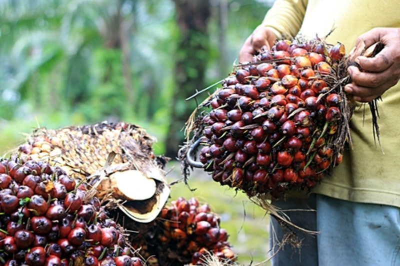 Image palm oil dreamstime xs 53412185
