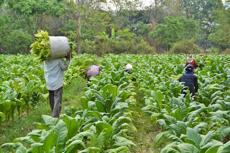 Image tobacco farm dreamstime s 30024887