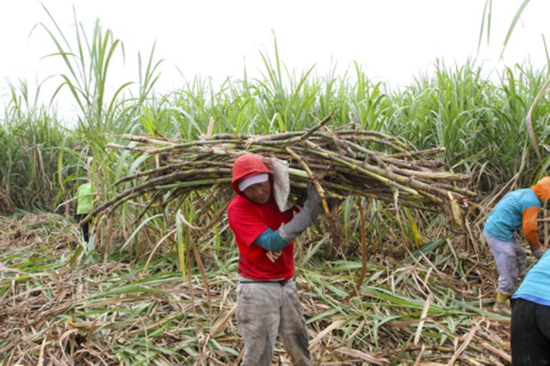 Image sugarcane dreamstime xs 74763125